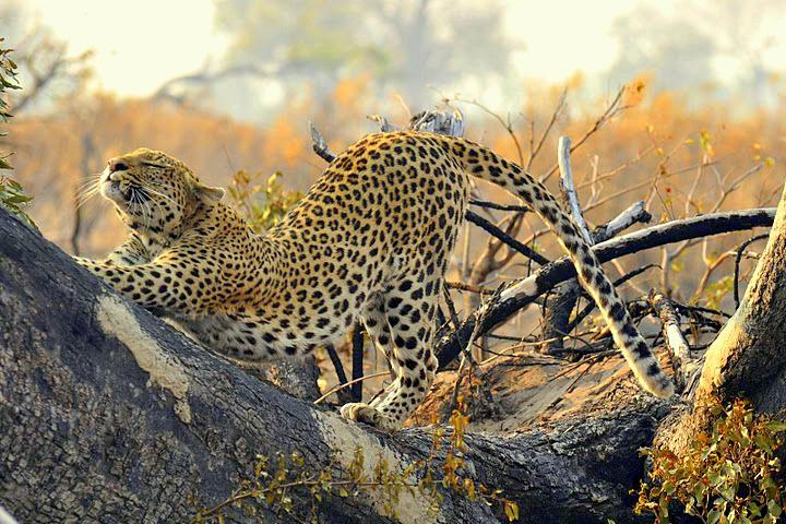 Pom Pom Camp's Iconic Leopards