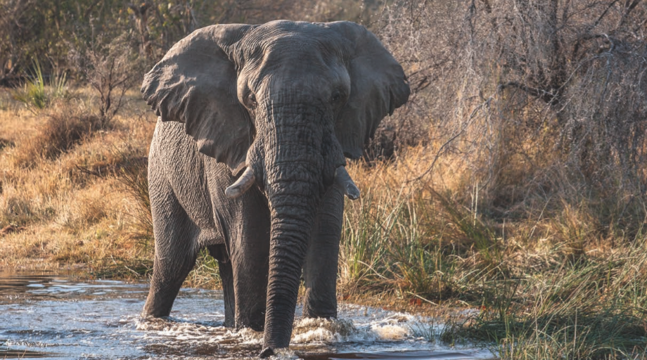 The shallow foodplains of the Okavango Delta pose no problem for elephants on the move.