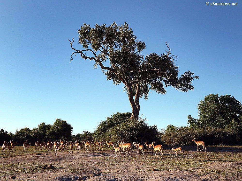 impala-and-tree