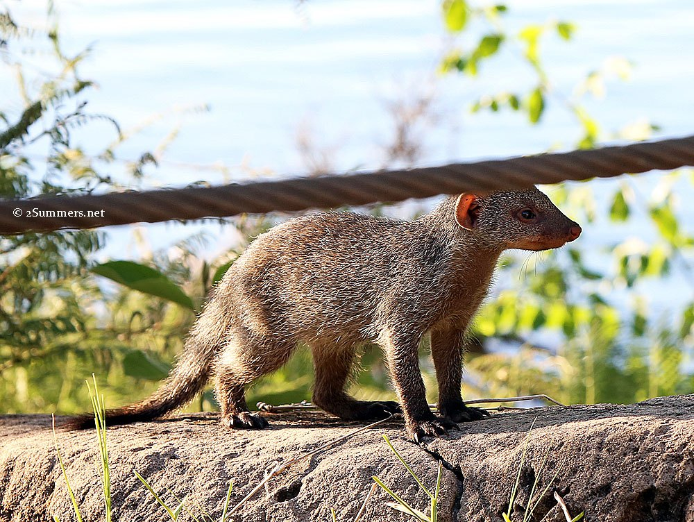mongoose-and-wall