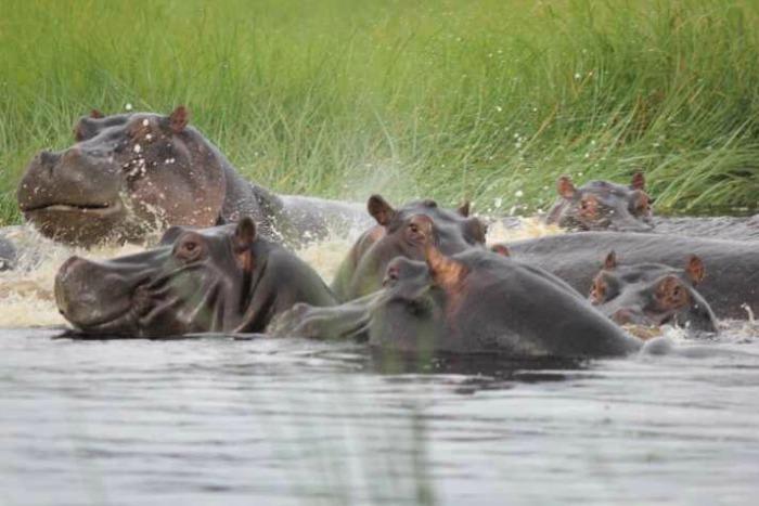 Botswana Okavango safari hippos 2