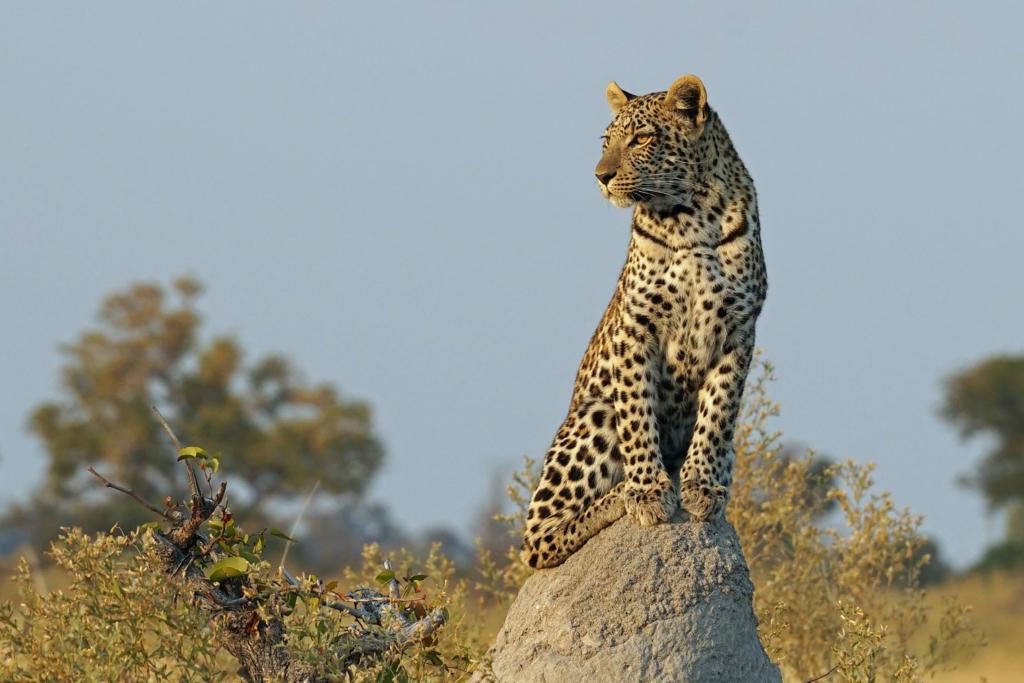 Leopard. ©Matthew Sterne