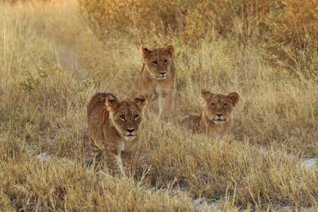 Lion cubs. © Matthew Sterne