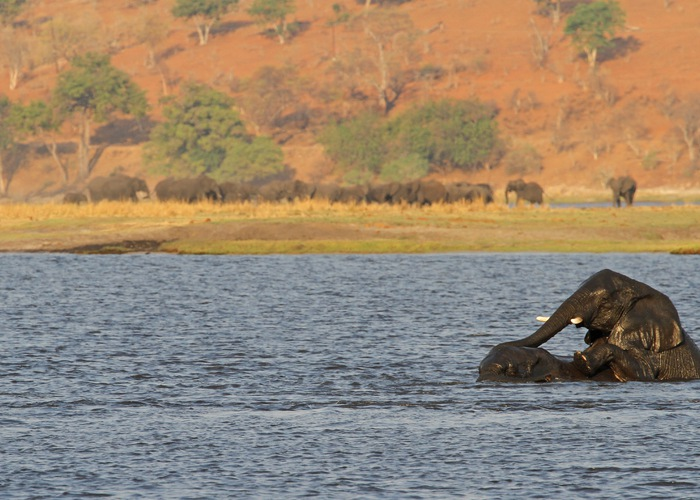 Summer in Botswana elephants playng
