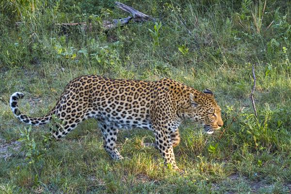 Pom Pom camp Leopard by nicole-palmer