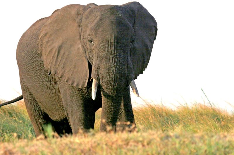 #ThisIsChobe, Under One Botswana Sky, Chobe Bush Lodge, Chobe Safari Lodge, Botswana, Chobe, Chobe National Park, This is Chobe, safari, wildlife, elephant, elephant conservation, Big 5
