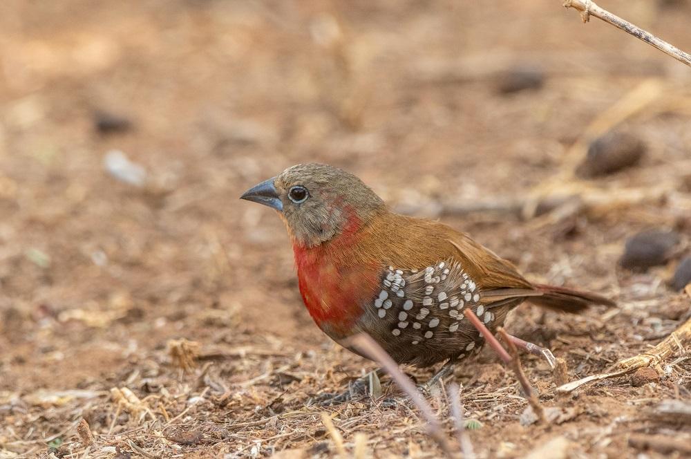 Under One Botswana Sky, Chobe National Park, Botswana Safari, Botswana Wildlife, Birding Safari, Red-throated Twinspot, Chobe Bush Lodge