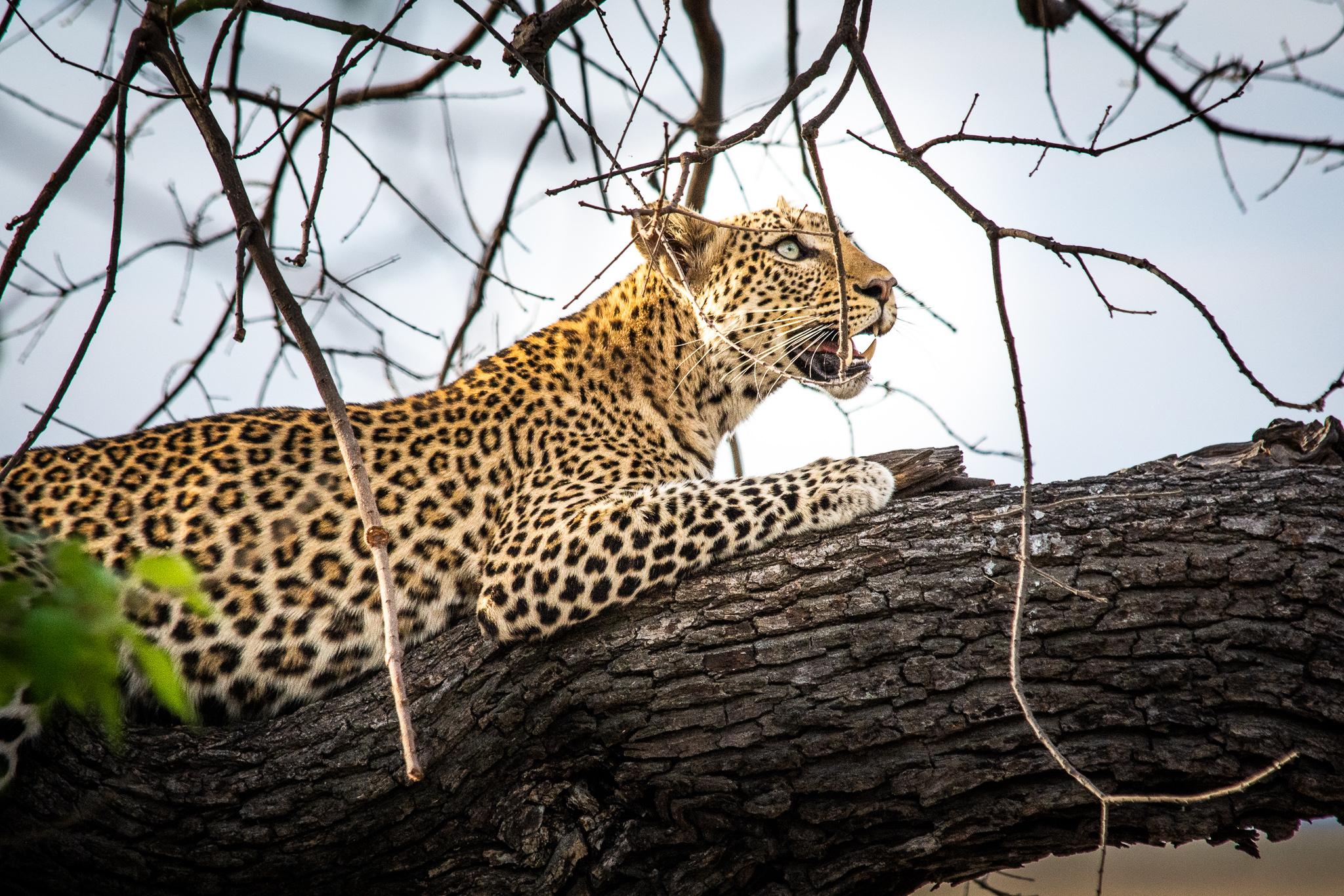 Leopard Chobe Safari lodge