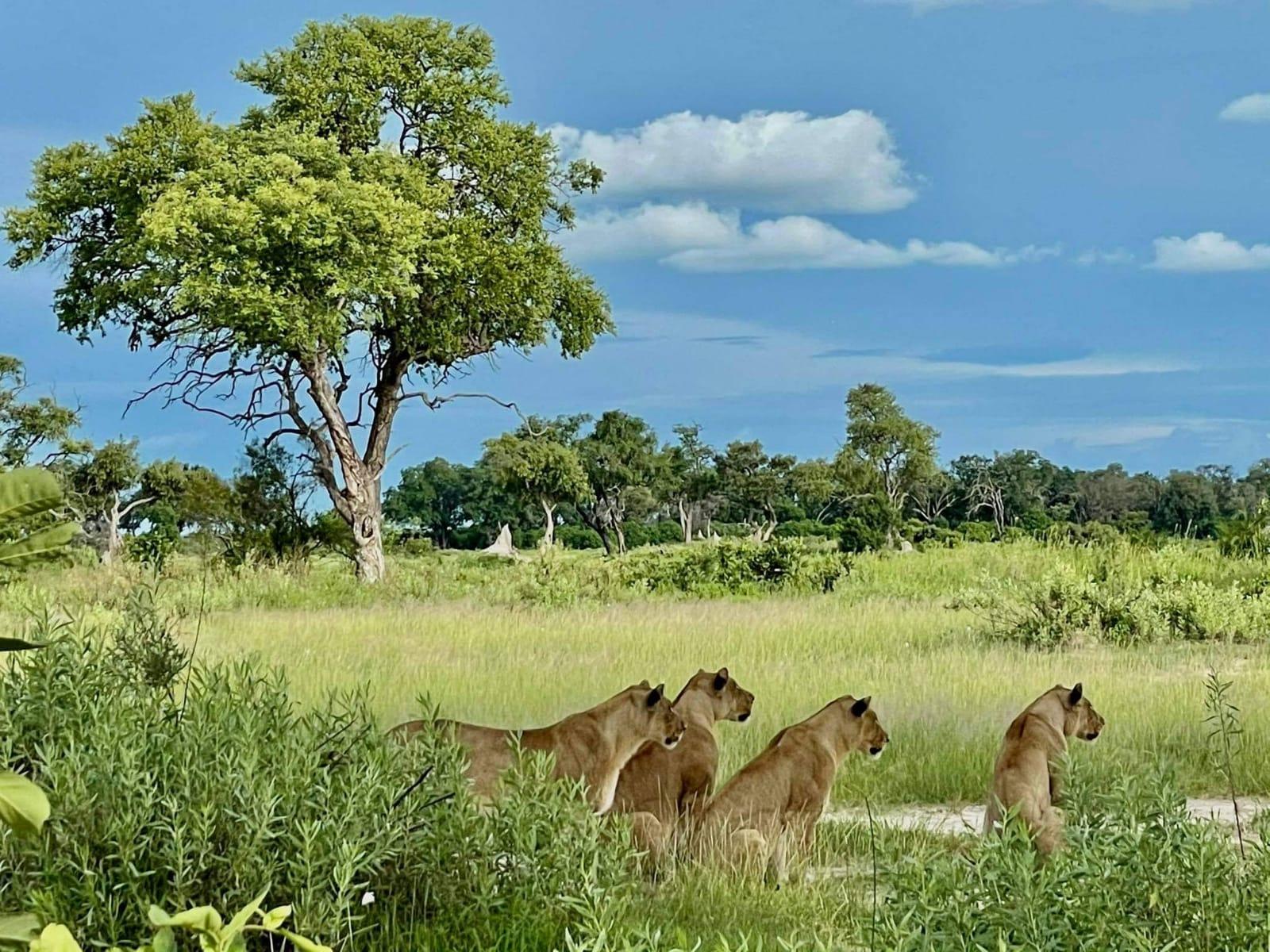 Safari in Botswana Pandemic
