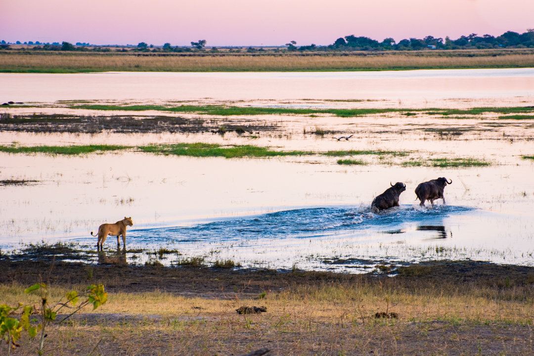 Lion Chobe National Park