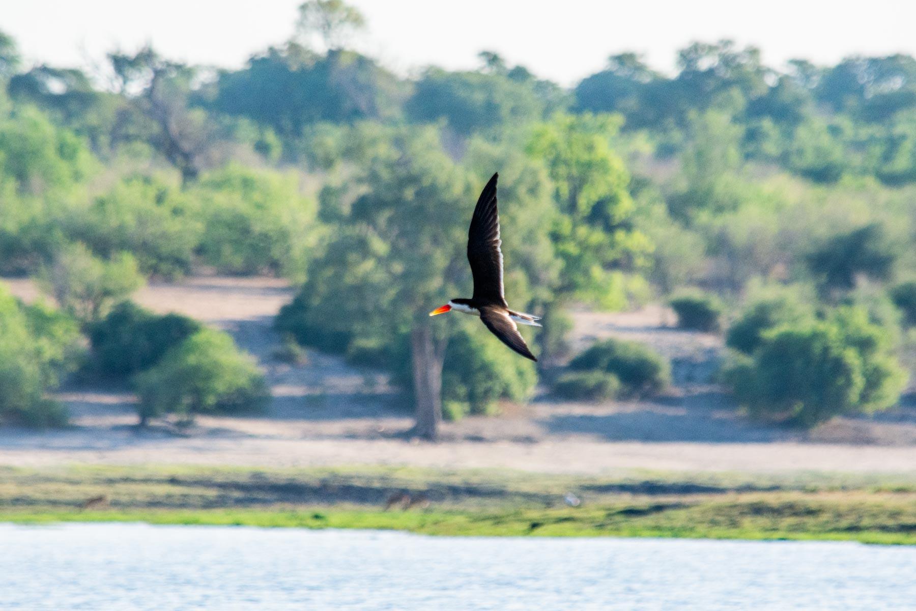 Chobe Birding Safari