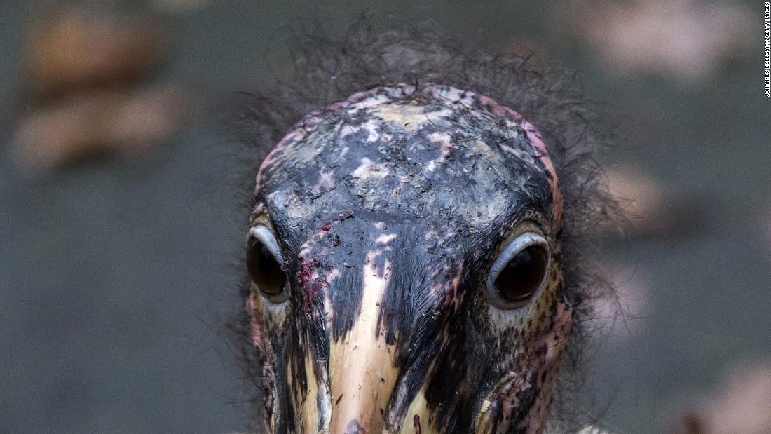 Ugly five in Botswana stork